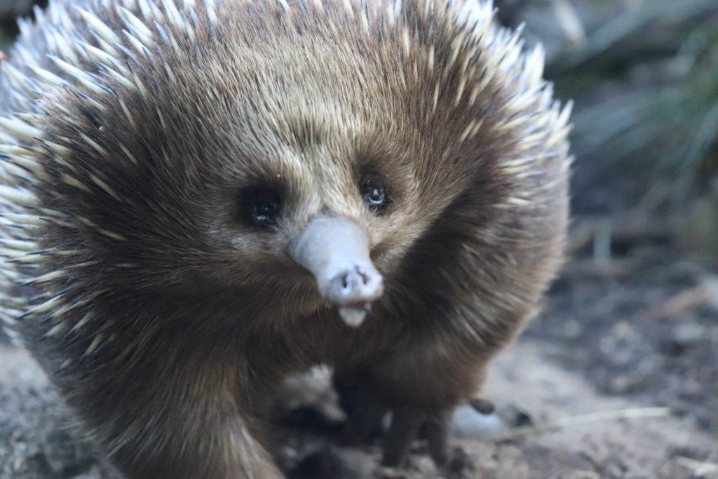 hedgehog_pic