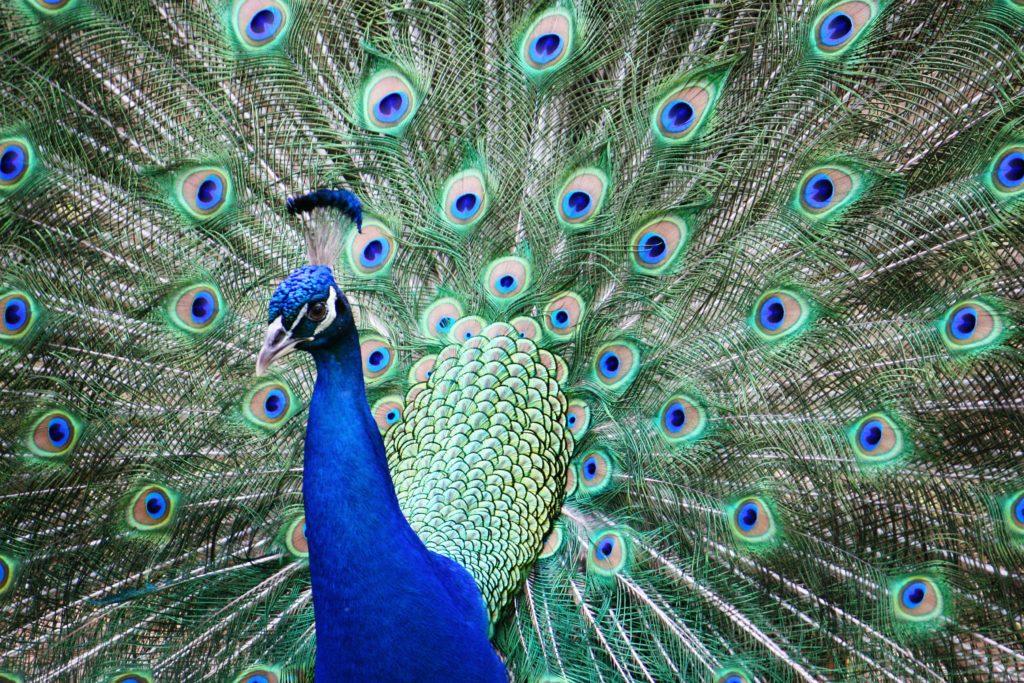 Peacock_Pic