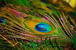 Peacock_biomimicry_live_creative_studio_blog