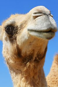 Camel_biomimicry_sustainable_product_innovation_blog